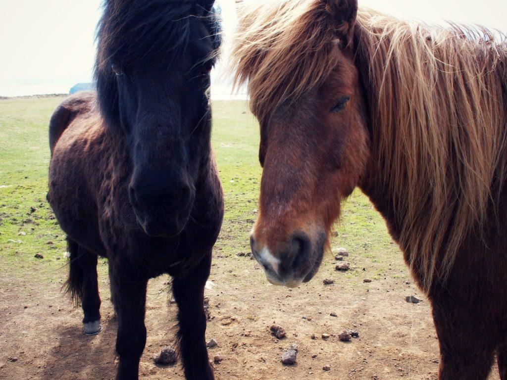Reisverslag IJsland deel 2 – Puffins & Pony's